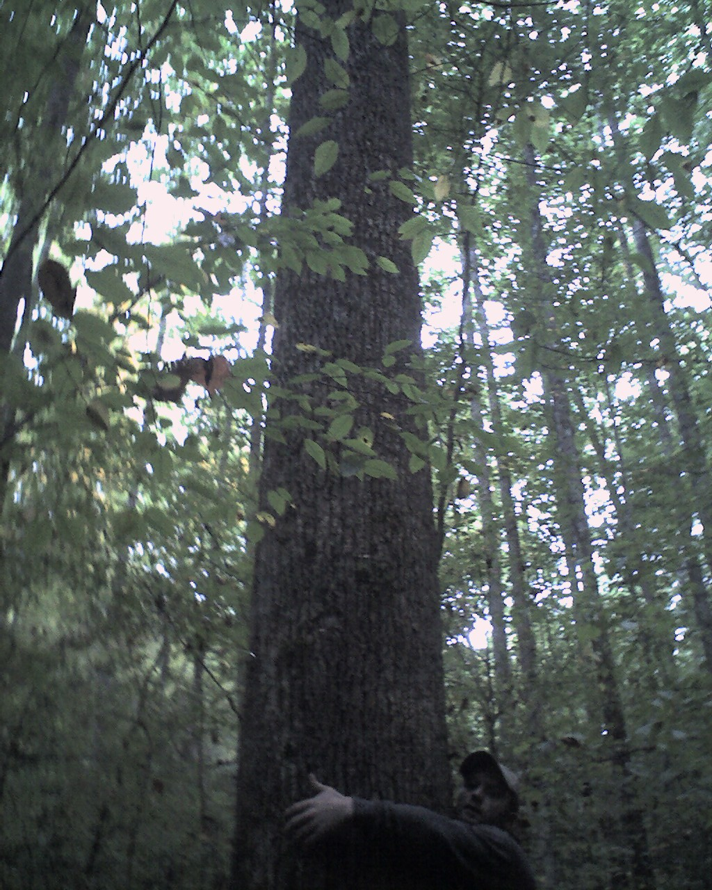 Jay with huge Tulip Poplar Tree on Henry Town Rd. in Jones Cove - Bearwallow Way