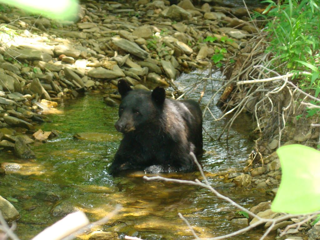 Bear yearling in creek at Cades Cove - photograph by Jay Fradd on July 4, 2009
