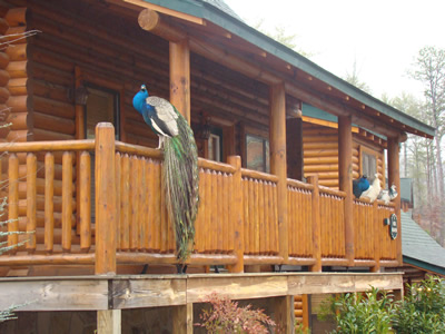 Peacock on a log cabin railing in Covered Bridge Resort