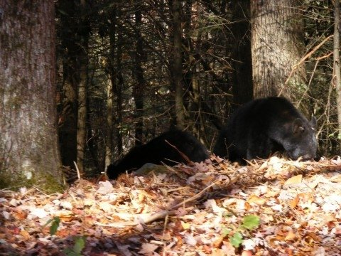 Sam Justus sees bear in Cades Cove on Brooke and Jay's Wedding Day 11/8/2008 and says to the tourists while in a bear jam